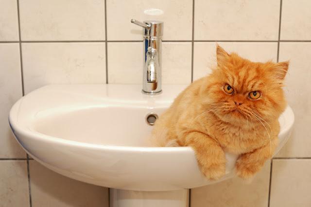 garfi-evil-grumpy-persian-cat-2